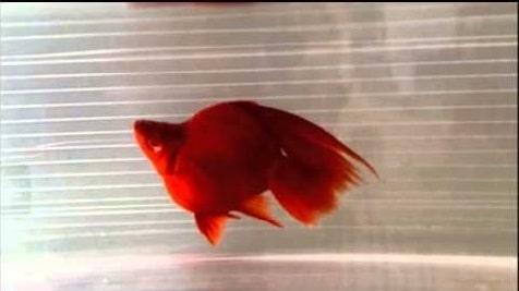 ikan molly merah