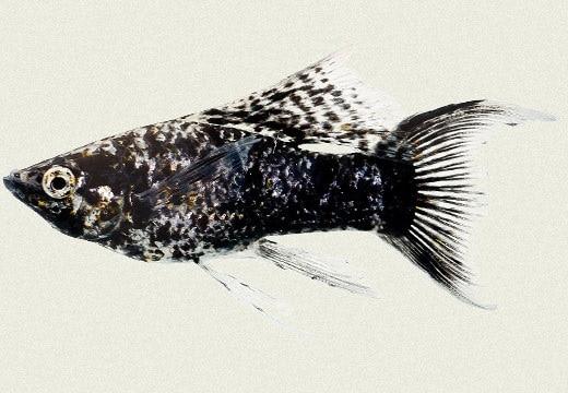 ikan molly marble jantan