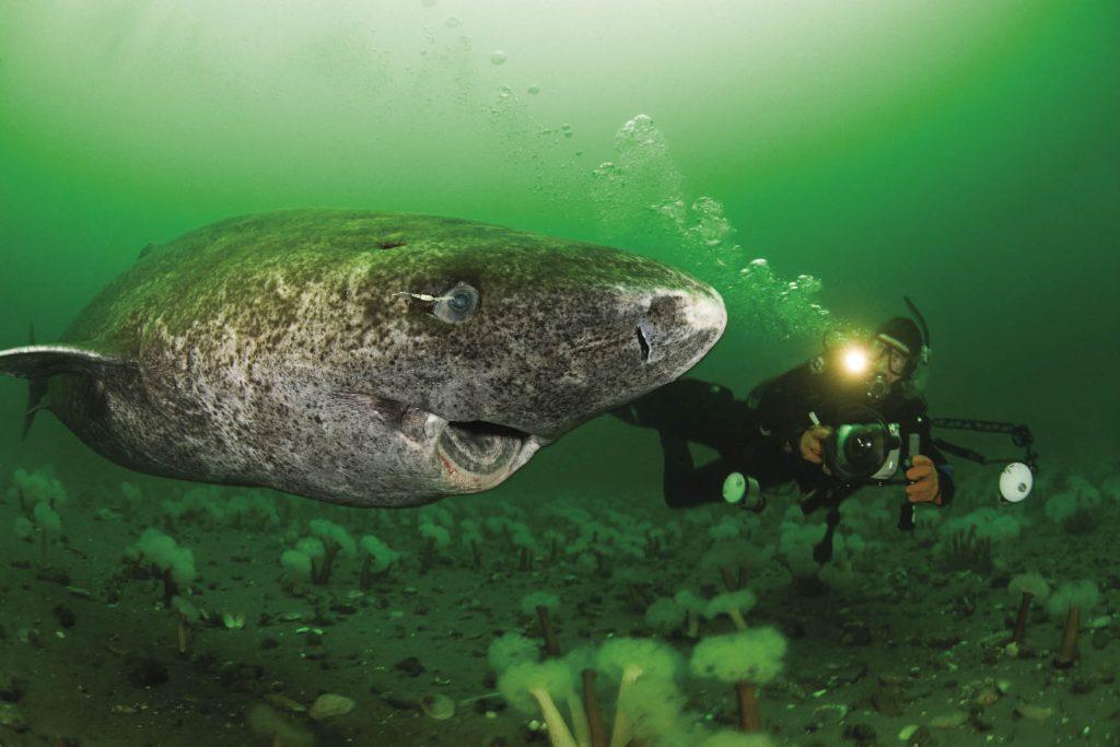 ikan hiu greenland