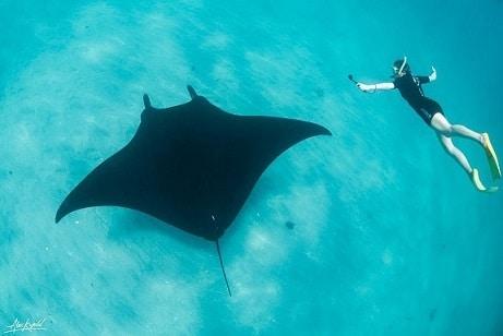 ikan manta ray