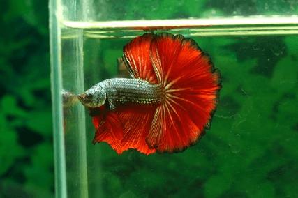 cara membiakkan ikan cupang